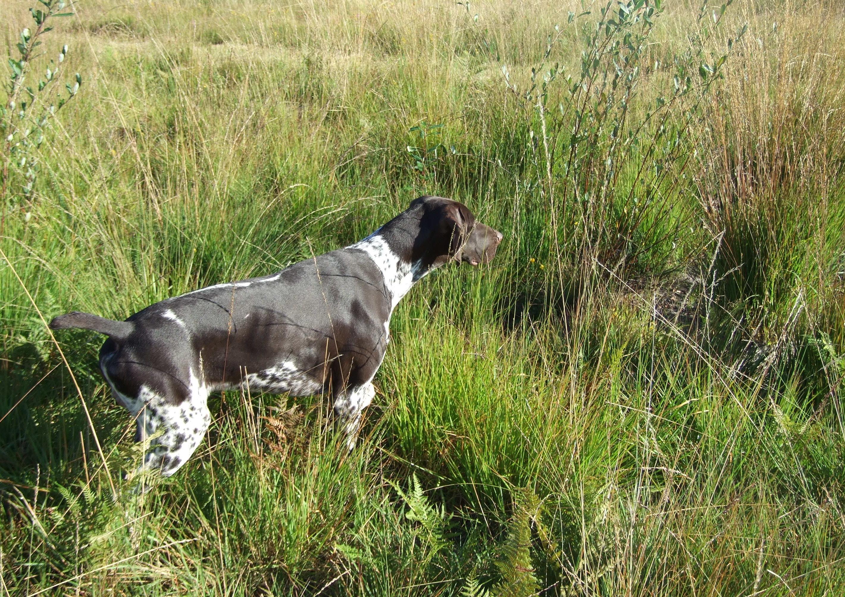Elevage Braques Allemand Mâles à Mios en Gironde